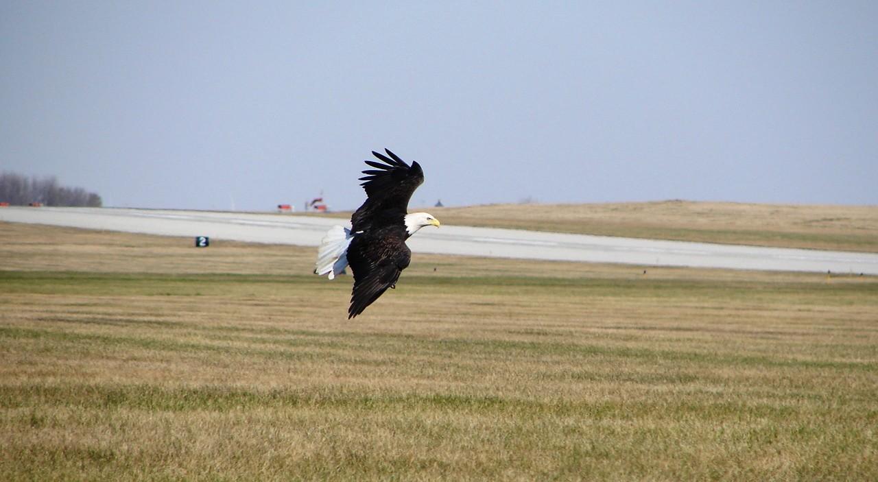 Bald-Eagle-1